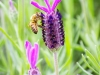 honey bee and purple flower
